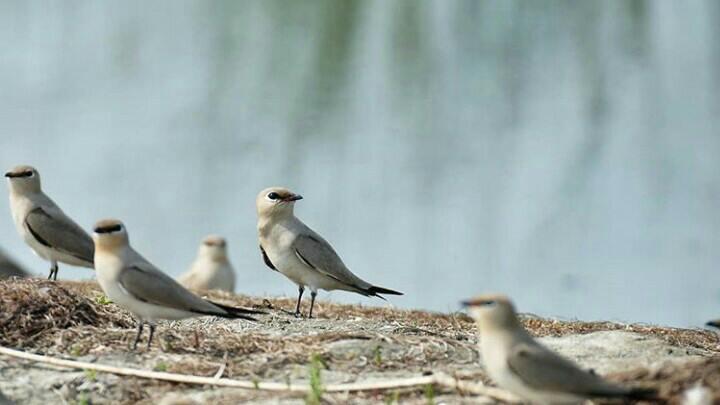 Small Birds at Nalabana Bird Sanctuary